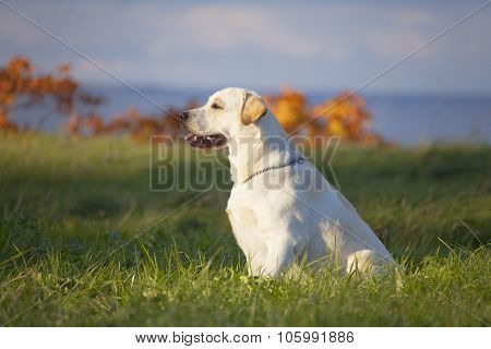 Labrador Dog On The Nature