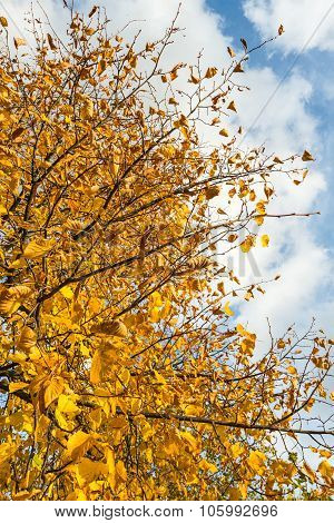 Yellowed Leaves Of A Tall Tree From Close