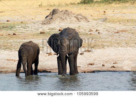 African Elephants Drinking At A Muddy Waterhole