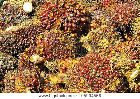 Harvested Palm Oil Fruit Bunch