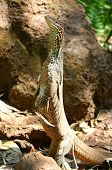stock photo of tuatara  - big lizzard standing up in australian outback - JPG