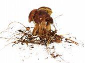 Polish Mushroom On White Background (xerocomus Badius) poster