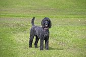 stock photo of standard poodle  - Standard black poodle bitch with short hair cut and tail intact - JPG