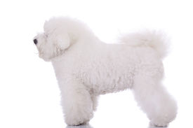 image of bichon frise dog  - side view of an amazing bichon frise standing on white background - JPG