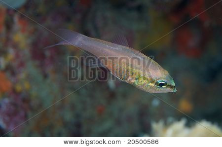 Bigtooth Cardinalfish