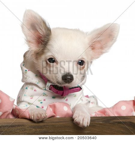 Close-up of Chihuahua puppy, 4 months old, dressed up and in dog bed in front of white background