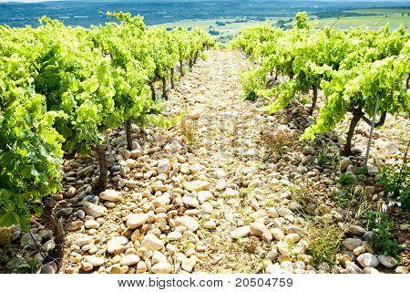 vineyards near Chateauneuf-du-Pape, Provence, France