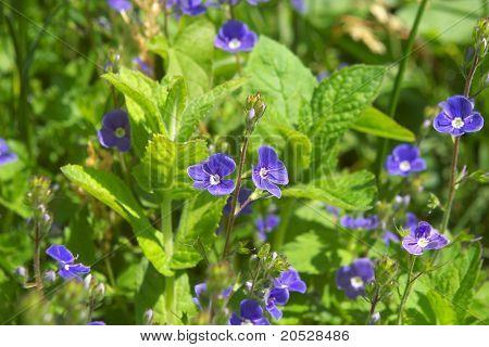 Vitrockiana violeta
