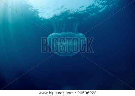 Jellyfish Under Water In Sea Of Japan
