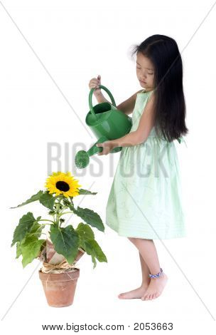 Watering The Sunflower