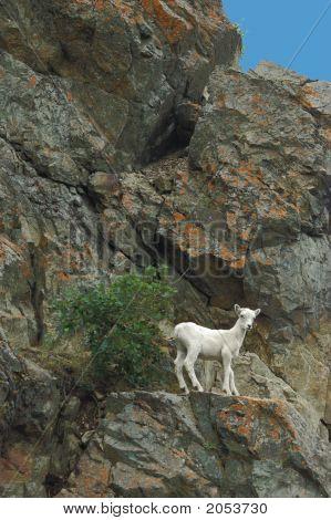 Dall Sheep Ewe Ledge Edited