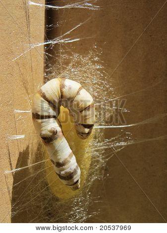 En un capullo de gusano de seda
