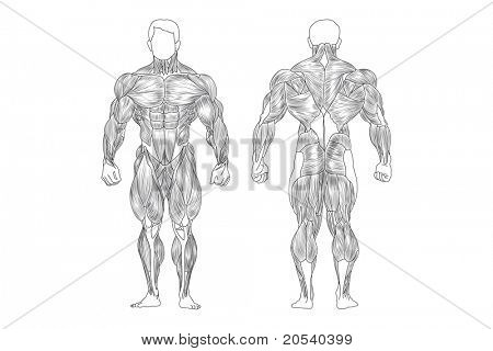 vector male muscles on white background