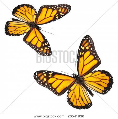 Two perfectly white isolated monarch butterflies