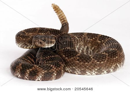 Portrait Of A Rattlesnake.