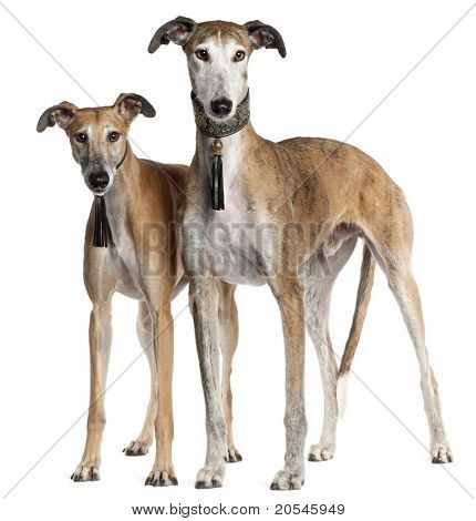 Galgo Espa?�±ols, 6 years old and 3 and a half years old, standing in front of white background