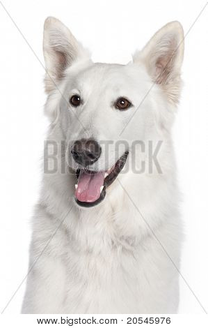 Close-up of Berger Blanc Suisse, 2 years old, in front of white background