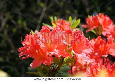Beauty Of Rhododendron