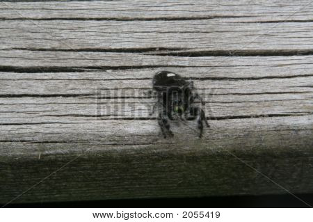 Spider On Dock