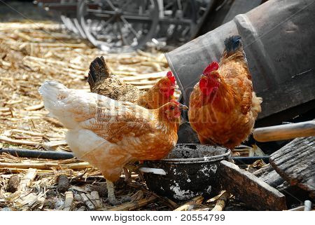 Hens In Rustic Farm Yard