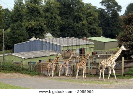 Giraffes Standing In Line Outside Their House In Zoo