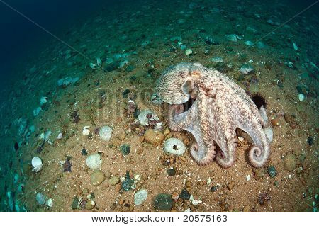 Giant Octopus Dofleini Walking On Sea Floor