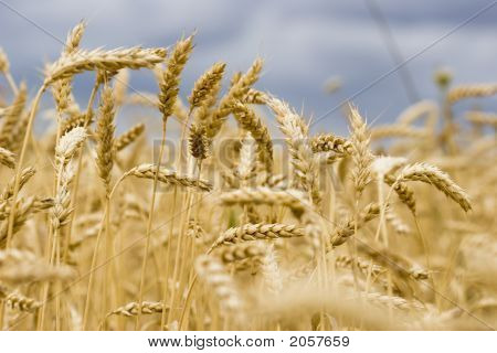 Wheat In Summer