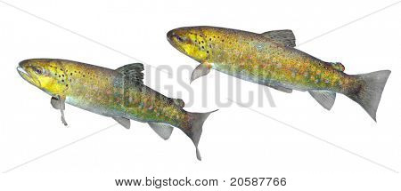The brown trout (Salmo trutta morpha)