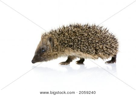 Hedgehog (1 Months)