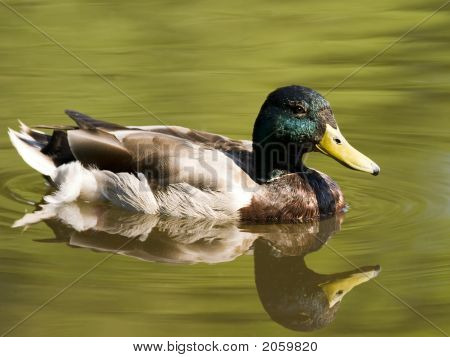 Swimming Duck In Pond