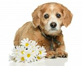 stock photo of cockapoo  - An old adult Cockapoo dog is lying down with some fake daisies isolated on a white background - JPG