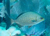 image of chub  - Bermuda Chub swimming over a coral reef - JPG