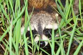 Raccoon Peering Through Vegetation