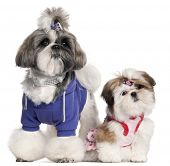 Shih Tzu's dressed up, 2 years old and 3 months old, in front of white background