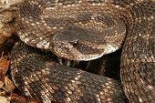 Portrait Of A Rattlesnake.
