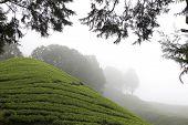 Постер, плакат: Камерон Хайлендс чай плантации поля
