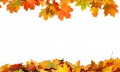 Autumn falling maple leaves isolated on white background poster