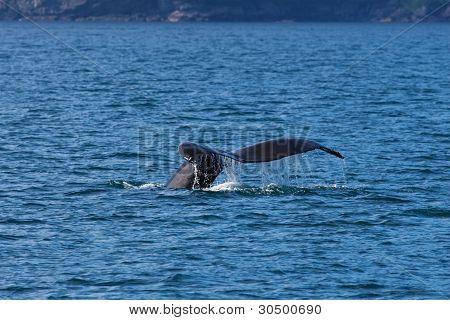 Alaskan Whale Tail