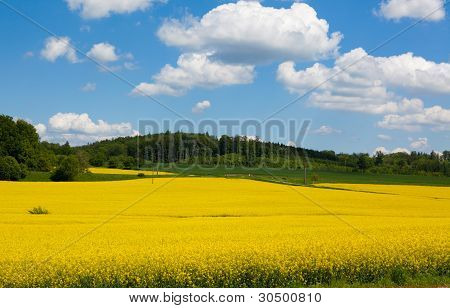 Mustard Field in Bloom Landscape