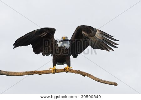 American Bald Eagle Holding a Fish