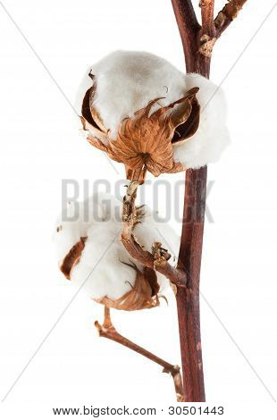 Two Cotton Bolls