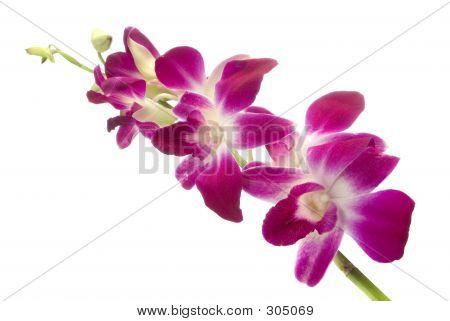 Orchidea Fucsia1