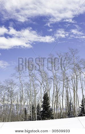 Aspen trees,winter,clouds