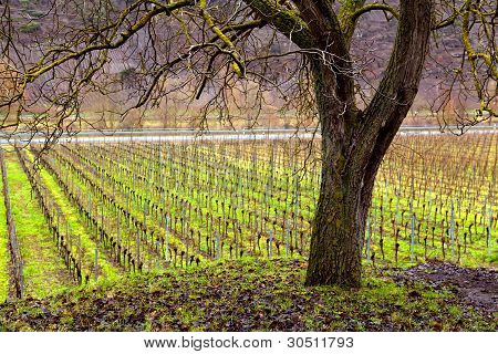 Vineyard And Tree