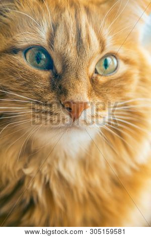 poster of Portrait of Brown Cat, Red Tabby Male Cat, Ginger Long Hair Cat