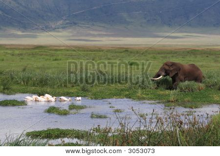 African Landscape With Elephant And Pelican'S In Swamp