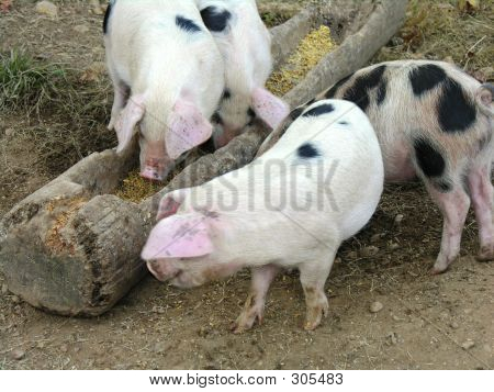 Pigs At Feeding Time.