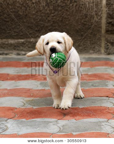 Labrador Puppy Running With A Ball