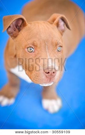 Pit Bull Puppy