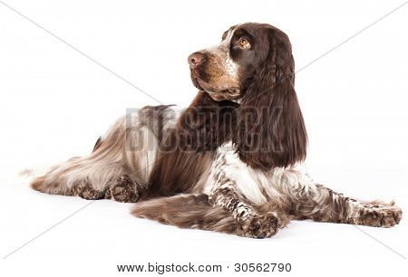 English Cocker Spaniel chocolate color, marble color